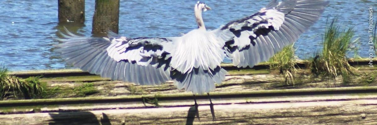 Heron on the Columbia