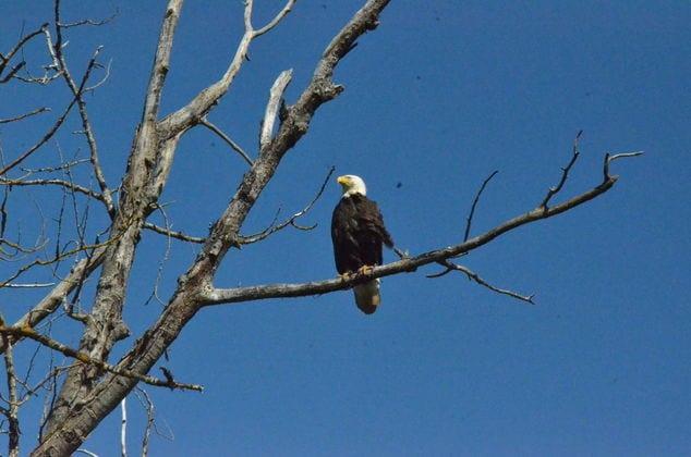 39th Annual Bald Eagle Days